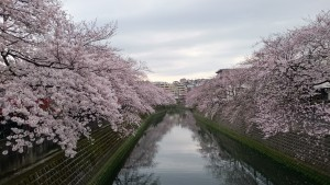大岡川 桜 201604jpg