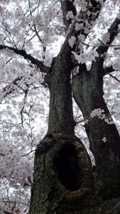 大岡川 桜 201604 木jpg