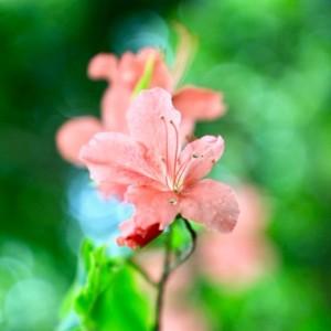 平澤  花